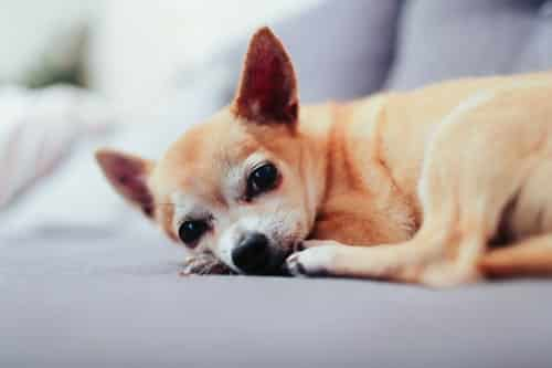 Chihuahua Poil Court Monchiwawa