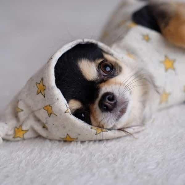 Adopter Un Chihuahua Les Avantages Et Les Inconvenients Monchiwawa