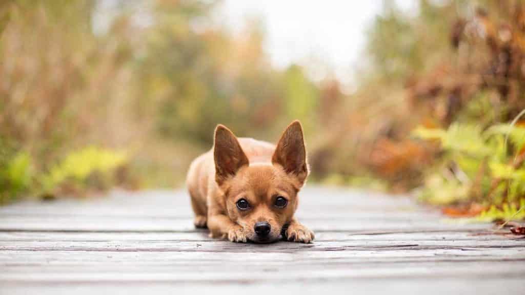 6 Conseils De Toilettage Pour Chihuahua A Poil Court Monchiwawa
