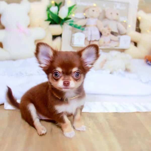 Adoption Chihuahua Quelle Procedure Monchiwawa